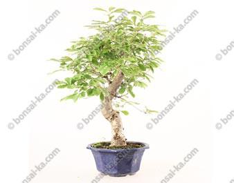 Chêne du Japon quercus acutissima prébonsaï import 2019 35 cm ref.19390