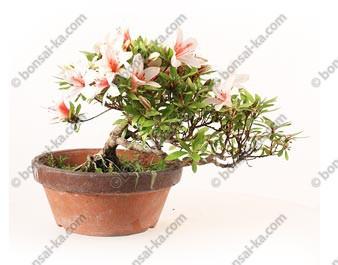 Azalée satsuki Hinomaru Rhododendron Indicum semi cascade import Japon ref.19399