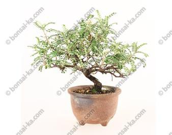 Osteomeles subrotunda shohin bonsaï 22 cm ref.19401