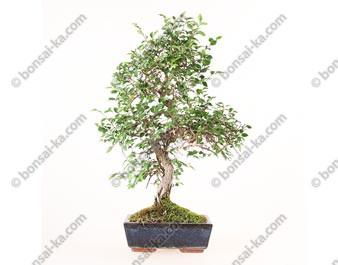 Orme de Chine ulmus parvifolia bonsai semi-acclimaté 46 cm ref.19403