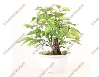 Prunus Mume abricotier du Japon prébonsaï 15 cm ref.19406