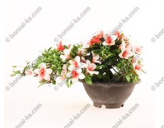 Azalée satsuki Hinomaru Rhododendron Indicum semi cascade import Japon ref.19407