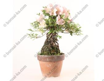 Azalée satsuki Seiko neagari shohin bonsaï import 2019 ref.19410