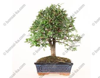 Orme de Chine ulmus parvifolia bonsai semi-acclimaté 36 cm ref.19412