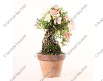 Azalée satsuki Seiko neagari shohin bonsaï import 2019 ref.19415