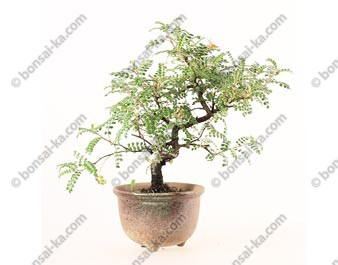 Osteomeles subrotunda shohin bonsaï 25 cm ref.19417
