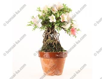 Azalée satsuki Seiko neagari shohin bonsaï import 2019 ref.19421