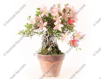 Azalée satsuki Seiko Rhododendron Indicum neagari shohin bonsaï import 2019 ref.19421