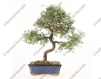 Orme de Chine ulmus parvifolia bonsai semi-acclimaté ref.19425