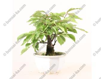 Prunus Mume abricotier du Japon prébonsaï 18 cm ref.19426