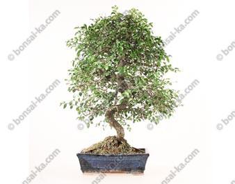 Orme de Chine ulmus parvifolia bonsai semi-acclimaté ref.19434