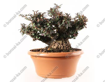 Berberis thunbergii atropurpureum prébonsaï 30 cm ref.19442