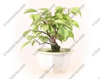Prunus Mume abricotier du Japon prébonsaï 18 cm ref.19450