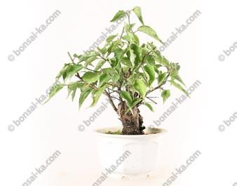 Prunus Mume abricotier du Japon prébonsaï 18 cm ref.19452