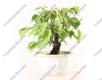 Prunus Mume abricotier du Japon prébonsaï 18 cm ref.19454