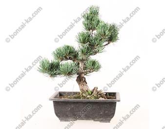Pin blanc du Japon pinus parviflora prébonsaï 27 cm ref.19455
