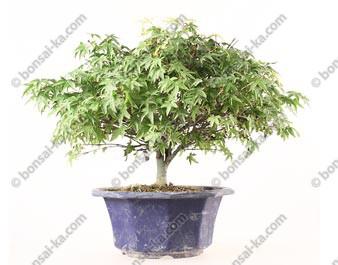 Érable du Japon acer palmatum Kiyohime prébonsaï 24 cm import Japon ref.19465