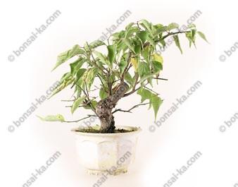 Prunus Mume abricotier du Japon prébonsaï 16 cm ref.19481