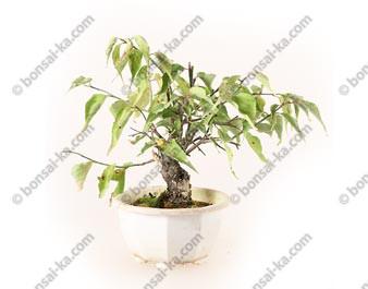 Prunus Mume abricotier du Japon prébonsaï 15 cm ref.19492