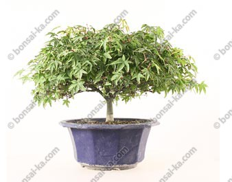 Érable du Japon acer palmatum Kiyohime prébonsaï 20 cm import Japon ref.19493