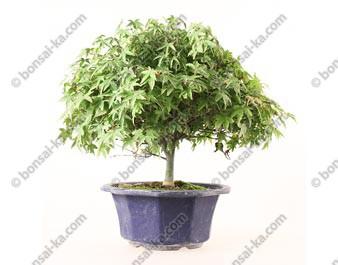 Érable du Japon acer palmatum Kiyohime prébonsaï 25 cm import Japon ref.19495