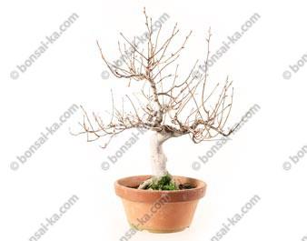 Hêtre du Japon fagus crenata bonsaï 30 cm import 2020 ref.20011