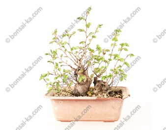 Charme de Corée carpinus coreana souche double tronc prébonsaï 17 cm ref.20020