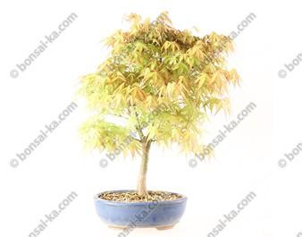 Érable du Japon acer palmatum Katsura 45 cm import 2020 ref.20025