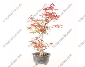 Érable du Japon deshojo acer palmatum prébonsaï 30 cm ref.20048