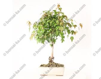 Erable de Burger acer burgerianum bonsaï 46 cm ref.20050
