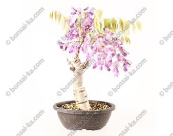 Glycine du Japon wisteria sp.prébonsaï 30 cm ref.20051