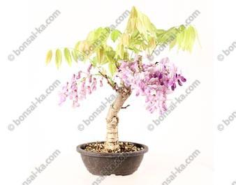 Glycine du Japon wisteria sp.prébonsaï 30 cm ref.20054