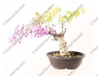 Glycine du Japon wisteria sp.prébonsaï 22 cm ref.20055