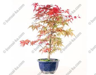 Érable du Japon deshojo acer palmatum prébonsaï 35 cm ref.20061