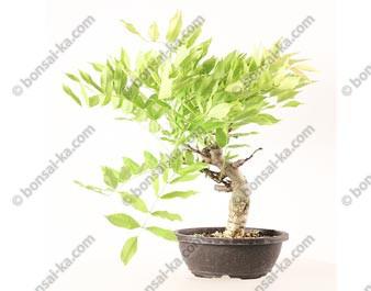 Glycine du Japon wisteria sp.prébonsaï 32 cm ref.20070