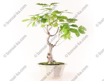 Chêne du Japon quercus sp. prébonsaï
