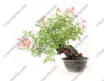 Rosier sauvage sur roche rosa multiflora prébonsaï 30 cm import 2020 ref.20085