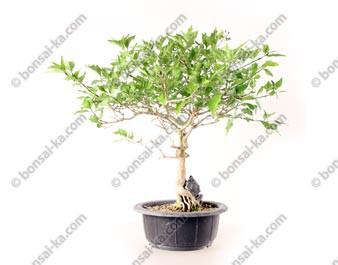 Premna japonica Nioi Kaede sur roche bonsaï 35 cm import Corée 2020 ref.20100