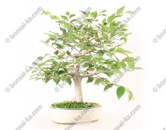 Hêtre du Japon fagus crenata bonsaï 40 cm import 2020 ref.20133