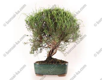 Coleonema sp. bonsai 45 cm ref.20135