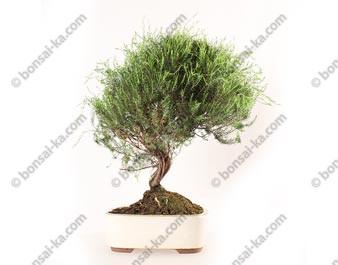 Coleonema sp. bonsai 46 cm ref.20140