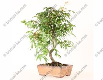 Érable du Japon acer palmatum bonsaï 36 cm 7 ans ref.21049