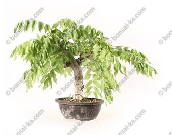 Glycine du Japon wisteria sp.prébonsaï 25 cm ref.20181