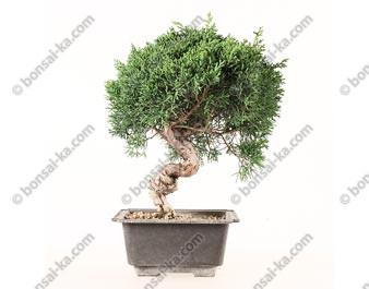 Juniperus chinensis prébonsaï import Corée 2020 ref.20196