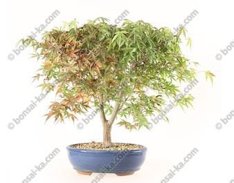 Érable du Japon acer palmatum Katsura 37 cm import 2020 ref.20199