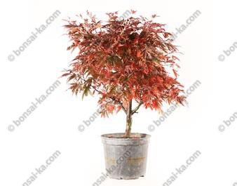 Érable du Japon deshojo acer palmatum Shaina prébonsaï 48 cm 10 ans ref.20205