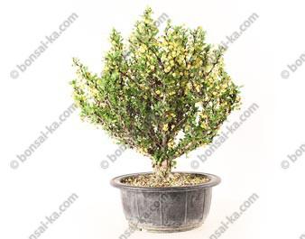 Berberis thunbergii prébonsaï 26 cm ref.20211
