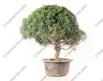 Juniperus chinensis prébonsaï import Corée 2020 ref.20293