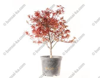 Érable du Japon deshojo acer palmatum Shaina prébonsaï 43 cm 10 ans ref.20299