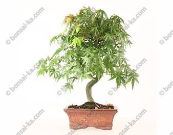 Érable du Japon acer palmatum bonsaï 34 cm 7 ans ref.21046